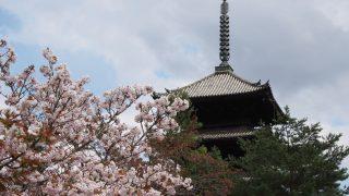 桜の京都 原谷苑、仁和寺、退蔵院、二条城