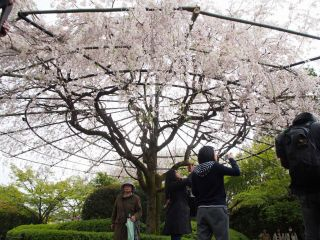 紅しだれ桜