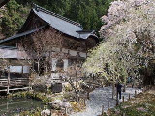 九重桜と開山堂